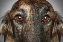 Russian Greyhound. Close-up Portrait On Grey Background